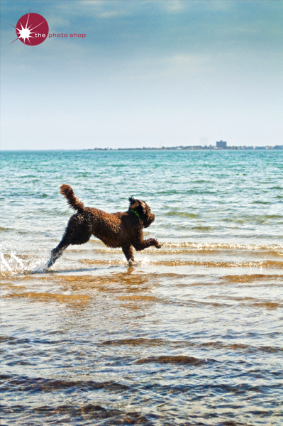 A dog chases a stick across St Kilda Beach